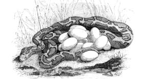 A python coiled around a clutch of eggs in an illustration from 'Los Héroes y las Maravillas del Mundo.'