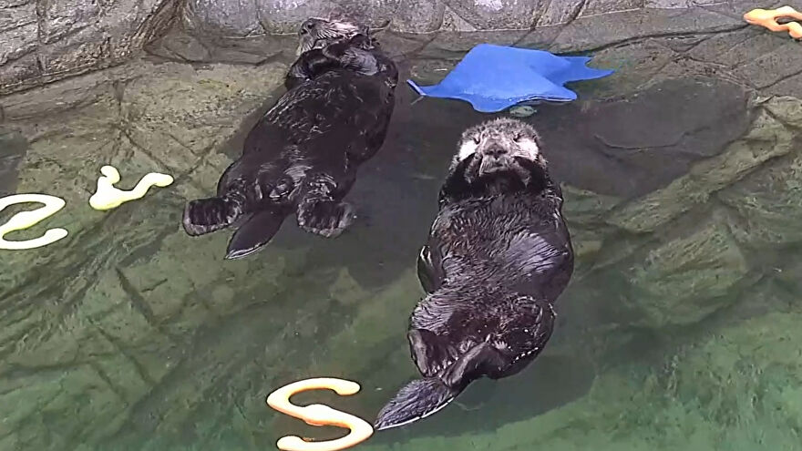 Sea otters floating on their backs on the Marine Mammal Rescue Centre's Twitch channel.